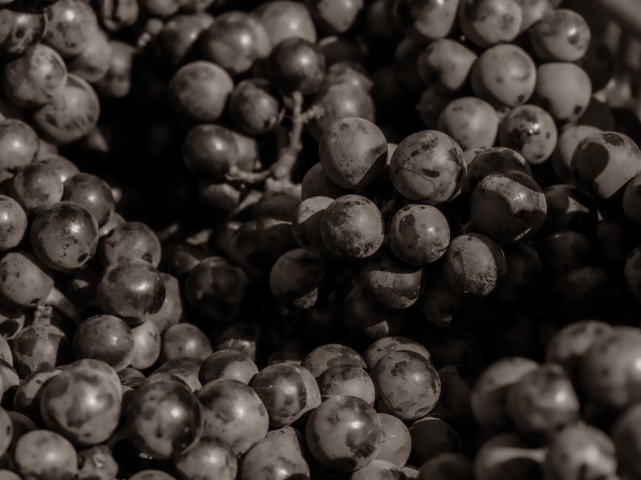 ワイン用葡萄のメルロ